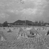 Korenveld met de Staatsmijn Wilhelmina op de achtergrond