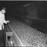 Eierbriketten op afkoelband